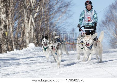 PETROPAVLOVSK-KAMCHATSKY KAMCHATKA REGION RUSSIAN FEDERATION - FEB 23 2017: Kamchatka Kids Competitions Sled Dog Race Dyulin (Beringia). Runs dog sled young Kamchatka musher Grishina Elizabeth.
