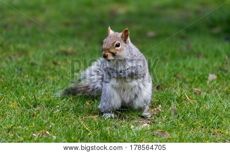 Squirrel standing up on grass outdoors, looking at the camera