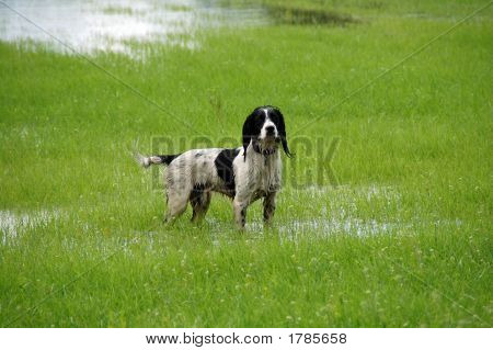 English springer spaniel standing in water in a field**Note slight graininess, best at small sizes. poster