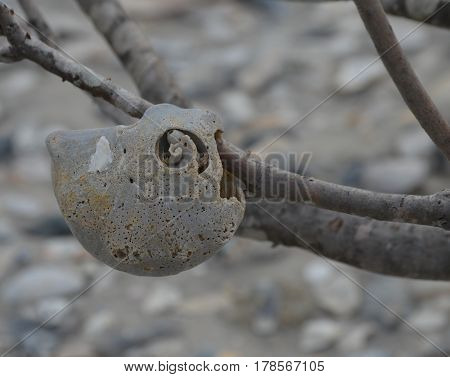 sand eroded sea shell hanging on tree branch