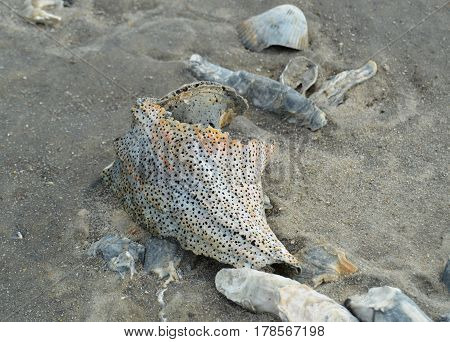 spotted conch shell on wet beach sand