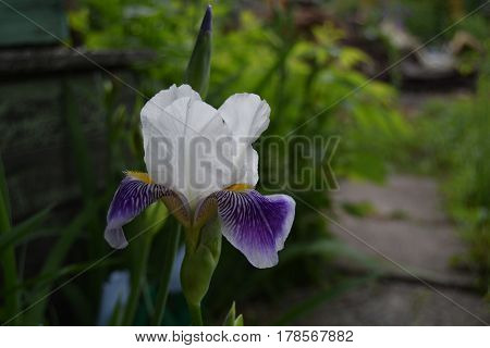 Beautiful iris floer in garden in spring day