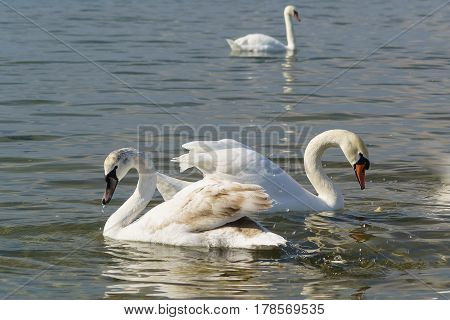 Two swans mute (lat. Cygnus olor) - the young and the adult - wintering in the Black sea near Anapa