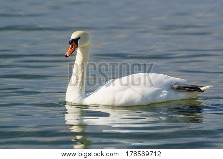 Single white adult mute Swan (lat. Cygnus olor) is a bird of the duck family - dry black paw afloat