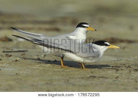 A Least Tern pair, Sternula antillarum on sand near the shoreline in breeding plumage in Florida