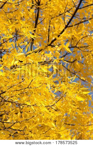 yellow leaves on the tree in autumn .