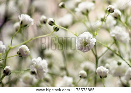 Close up view of  baby's breath flowers