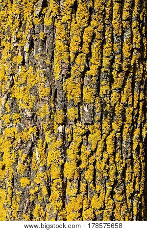 Close-up of the old birch bark with yellow moss on it