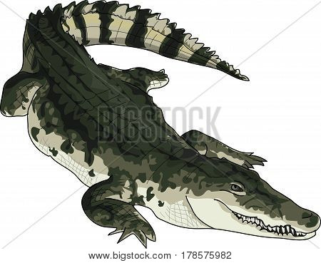 The dark green big crocodile on a white background.