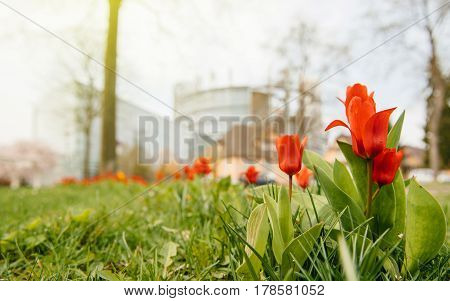 Low angle view of defocused European Parliament seen through red spring tulips