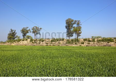 Wheat Field And Rocky Bank