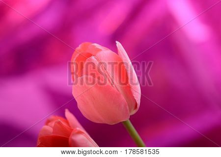 Spring Flowers Banner - Bunch Of Pink Tulip Flowers On Red Background