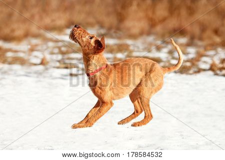The Irish Terrier curved back before the jump
