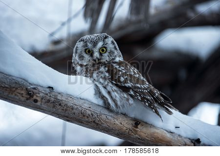 Owl sits on a branch in a snow-covered forest