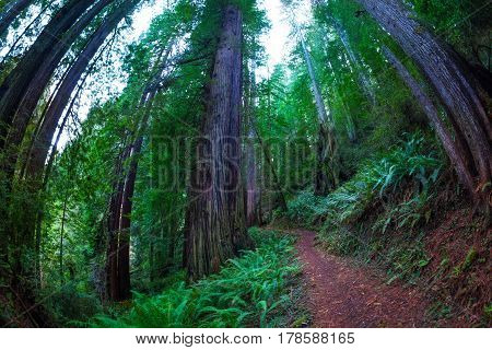 Fish eye view of a path through the huge sequoia trees in the Redwood National Park, USA