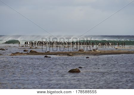 Large group of Gentoo Penguins (Pygoscelis papua) gathered on a beach before going out to sea to feed. Sealion Island in the Falkland Islands.