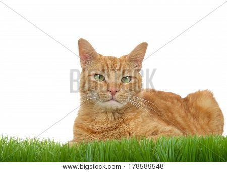 Orange ginger tabby cat laying in green grass isolated on a white background. Looking directly at viewer.