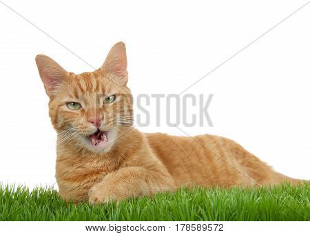 Orange ginger tabby cat laying in green grass isolated on a white background. Mouth open as if talking looking directly at viewer with perplexed expression.