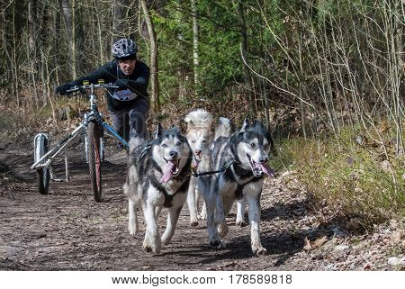 Kaliningrad Russia March 26 2017 local bikejoring and canicross championship. Scooter driver musher with huskies team