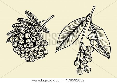 Hand sketch - branch of the rowanberry. Vector illustration isolated on beige