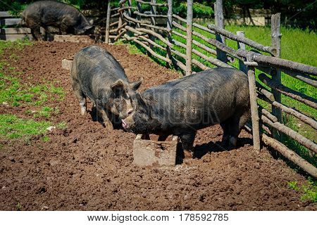 Berkshire pigs in a North American farm setting.  These pigs are a very old heritage breed from Britian.