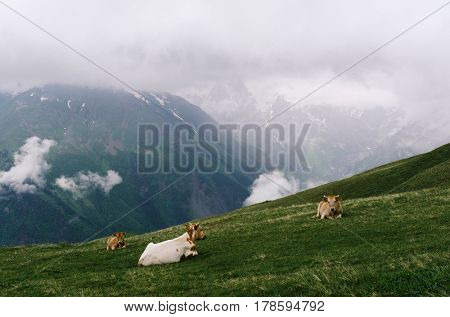 Summer landscape in the mountains. Red cows on a alpine pasture. Cloudy weather. Zemo Svaneti, Georgia, Caucasus