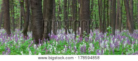 Panorama of the forest with a blooming meadow. Landscape with the first spring flowers