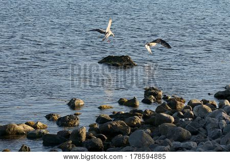 Two flying seagulls by the sea shore with stones