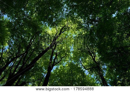 Trunks and branches of trees against the sky. Beech forest in the mountains. Juicy green foliage in the spring. Sunny day