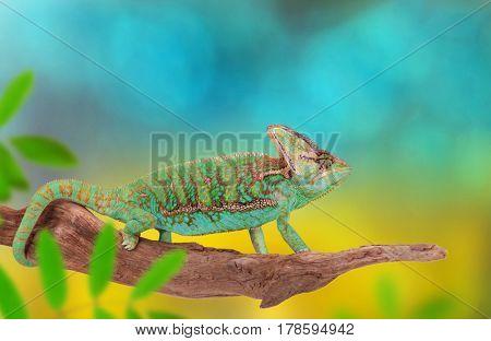 Veiled chameleon (chamaeleo calyptratus) on branch.