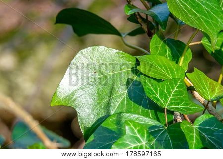 Close up of ivy leaves on a tree trunk in the woods, nature background