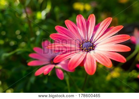 Beautiful Pink African Daisy Serenity Rose Magic