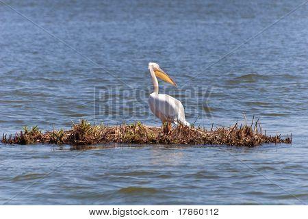 Pelican isolated in the Danube Delta Romania poster