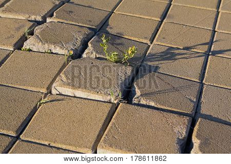 Plant makes its way through the tile pavement. Nature