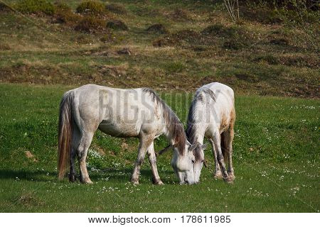 Two white horses graze in a meadow. Animals