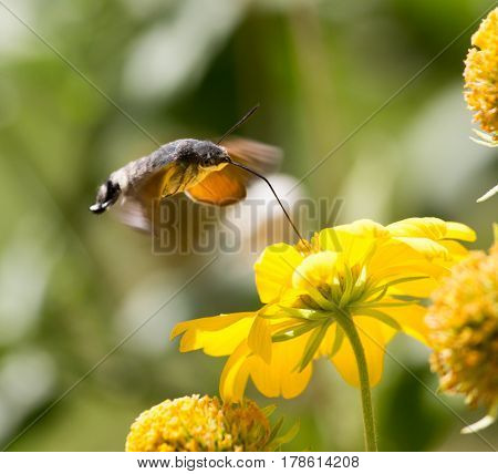 Sphingidae, known as bee Hawk-moth, enjoying the nectar of a yellow flower. Hummingbird moth. Calibri moth.