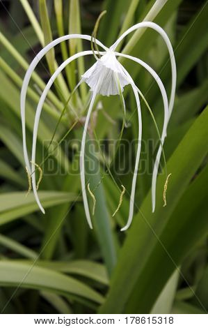 Common White Lilly