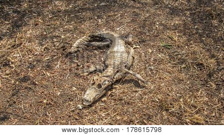 Caiman - Jacare, Alligator - Dead Corpse Carcass In Decomposition In The Brazilian Pantanal