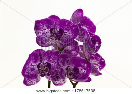 A bouquet of purple orchids on a white background