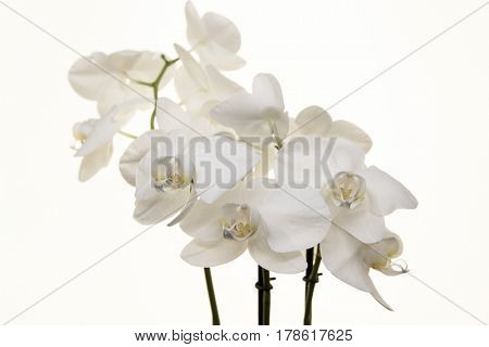 Branch white Orchid on a white background