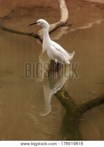 Snowy Egret Egretta thula bird forages in a marsh in Huntington Beach Southern California United States