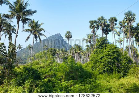 Palm trees in rural Andhra pradesh state in India