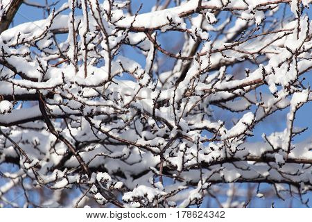 branch of a tree in the snow against the blue sky .