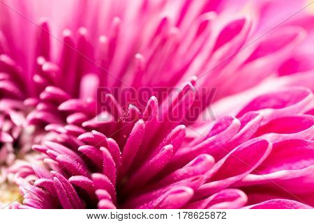 red flower chrysanthemum as background. close . Photo texture