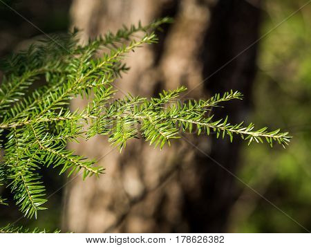 Bright green, tender branch on an evergreen tree