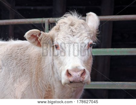 Closeup of a Country Cow with One Upturned Ear