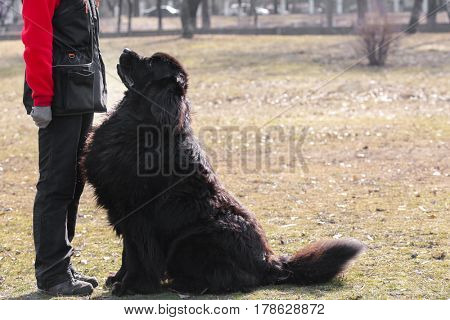 Dog specialist with Newfoundland outdoors poster