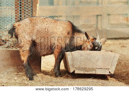 Cute funny goat in zoological garden