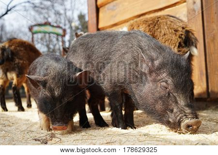 Cute funny pigs in zoological garden