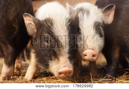 Cute funny pigs in zoological garden, closeup